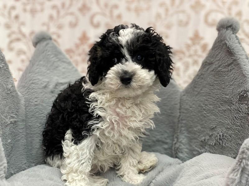 Poodle Mini-DOG-Female-Black White / Tan-3109372-Furrylicious