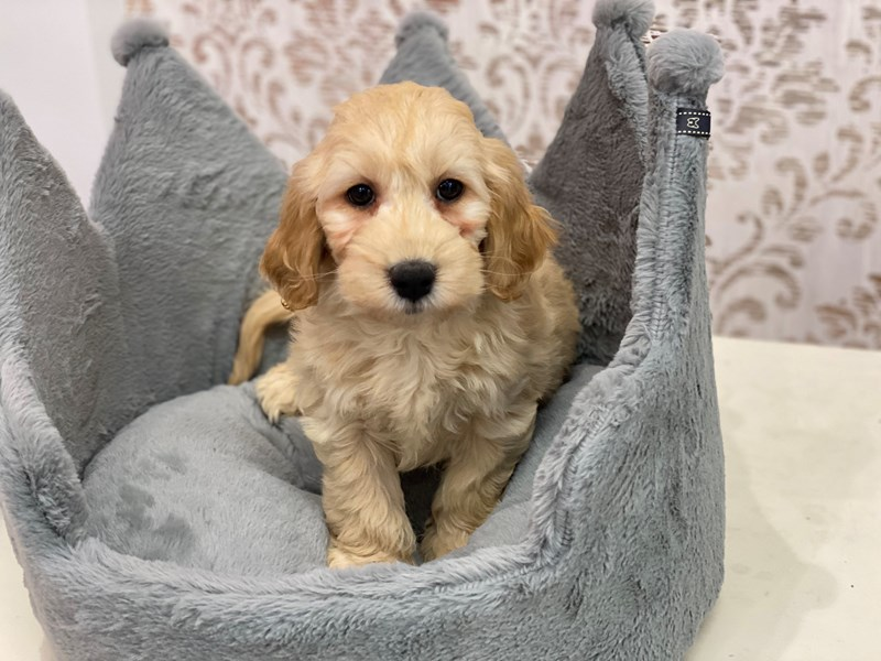 F1 Mini Goldendoodle-DOG-Female-Golden-3113015-Furrylicious