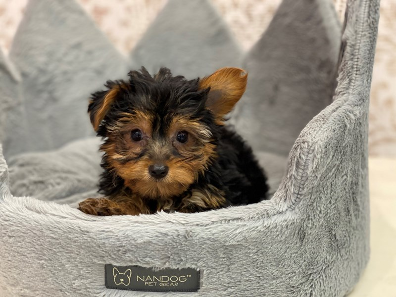 Yorkshire Terrier-DOG-Male-Black / Tan-3098006-Furrylicious