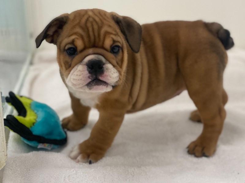 English Bulldog-Female-Red and White-3113056-Furrylicious