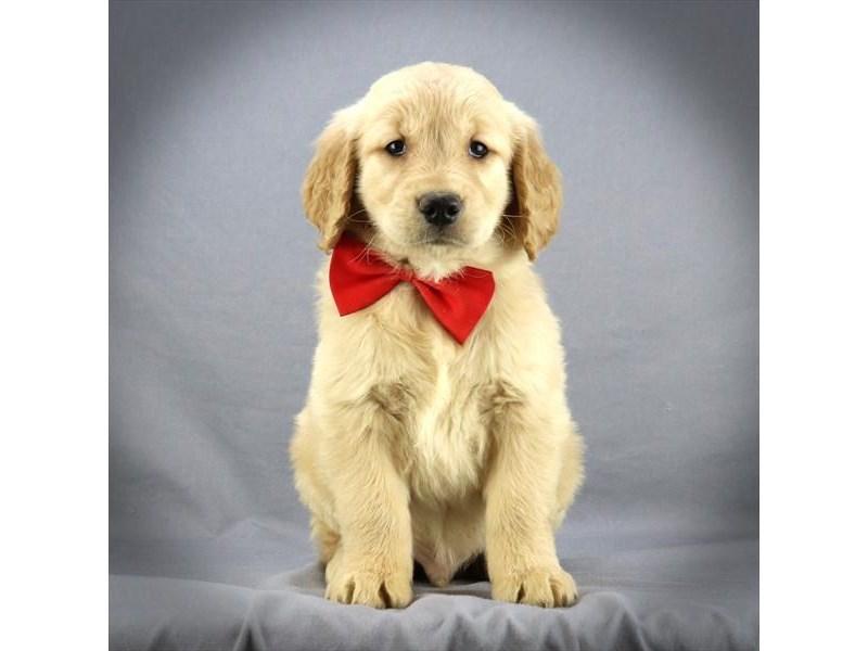 Golden Retriever-DOG-Male-Golden-3116405-Furrylicious