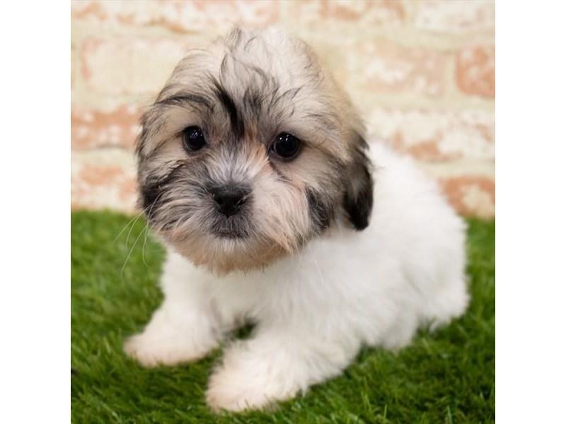 Teddy Bear-DOG-Male-Gold / White-3119937-Furrylicious
