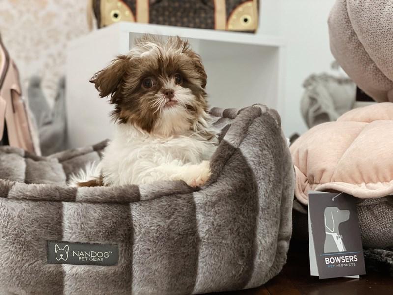 Havatzu-DOG-Female-Brown and White-3090982-Furrylicious