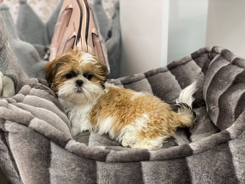 Shih Tzu-Male-Red / White-3067275-Furrylicious