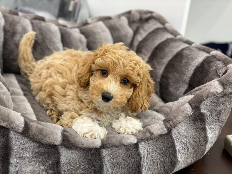 Bichapoo-DOG-Female-Apricot-3119929-Furrylicious