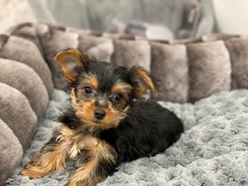 Yorkshire Terrier-Male-Black / Tan-3119935-Furrylicious