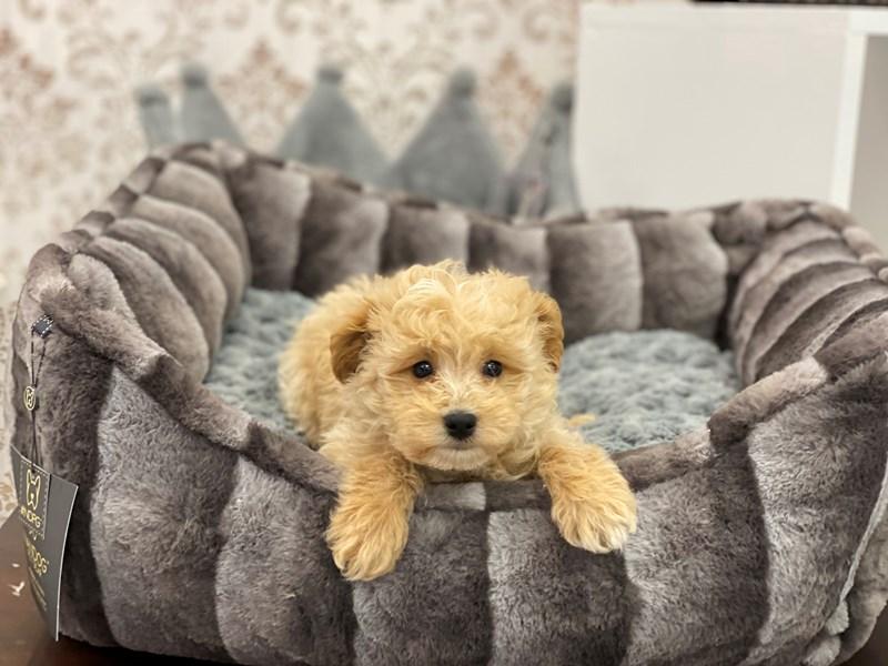 Maltipoo-DOG-Male-Tan-3124198-Furrylicious