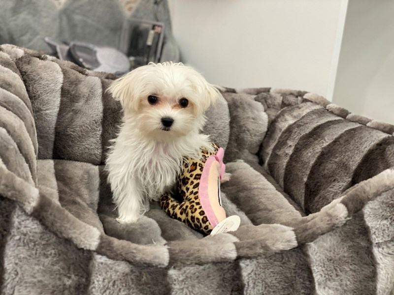 Maltese-Female-White-3124119-Furrylicious