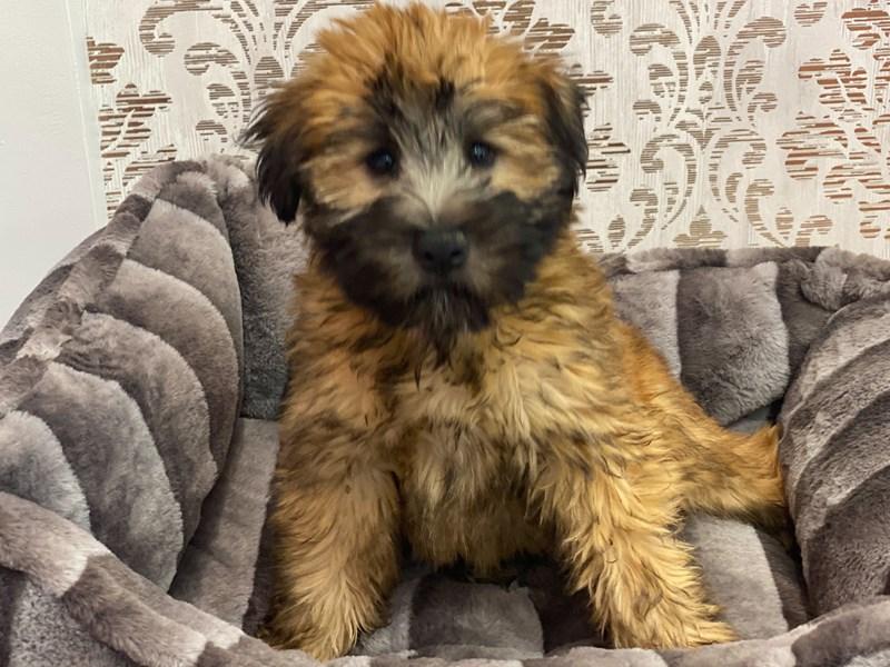 Soft Coated Wheaten Terrier-Male-Wheaten-3132717-Furrylicious