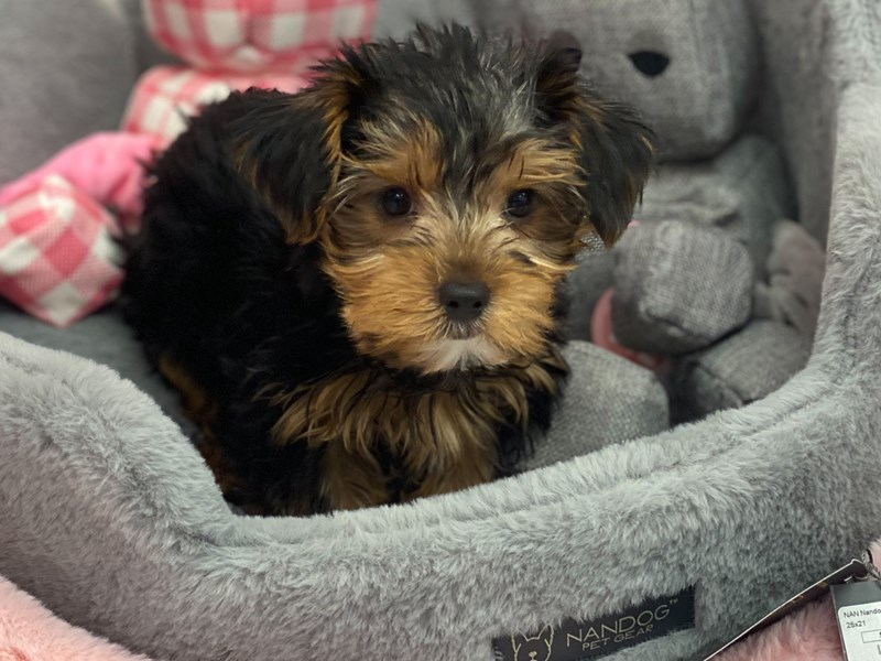 Yorkshire Terrier-Male-Black / Tan-3131862-Furrylicious