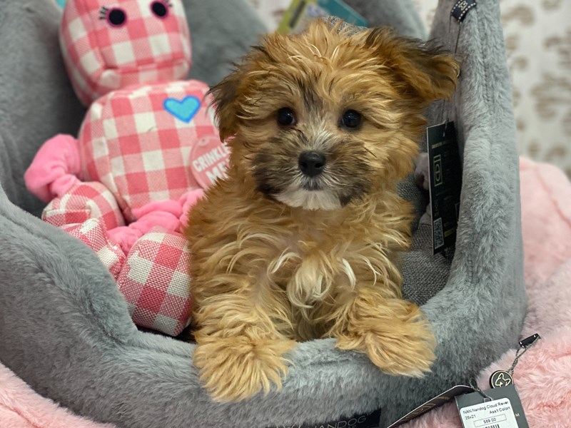 Morkie-DOG-Male-Gold-3132590-Furrylicious