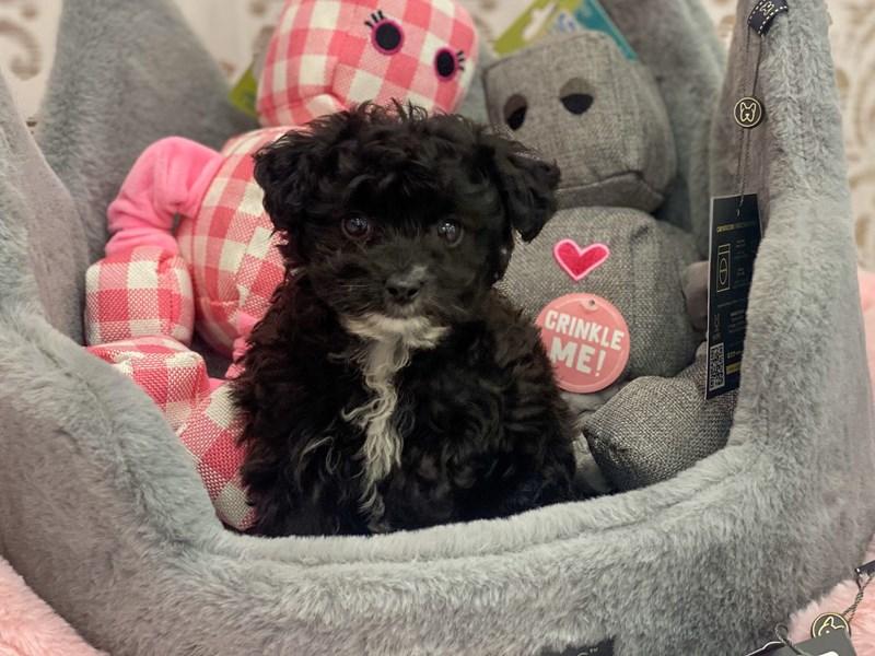 Aussiedoodle Mini-DOG-Female-Black-3132077-Furrylicious