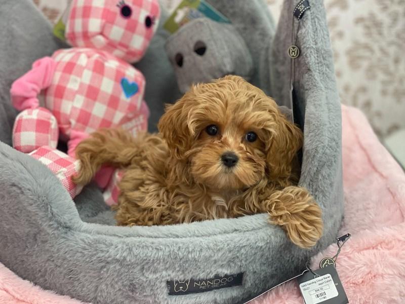 Cavachon Poo-DOG-Female-Red-3120956-Furrylicious