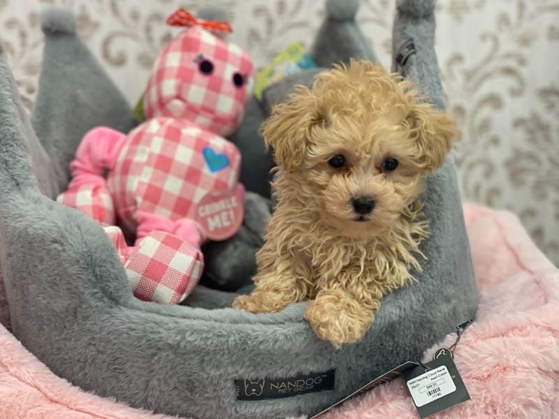 Poodle Toy-DOG-Male-Cream-3132030-Furrylicious