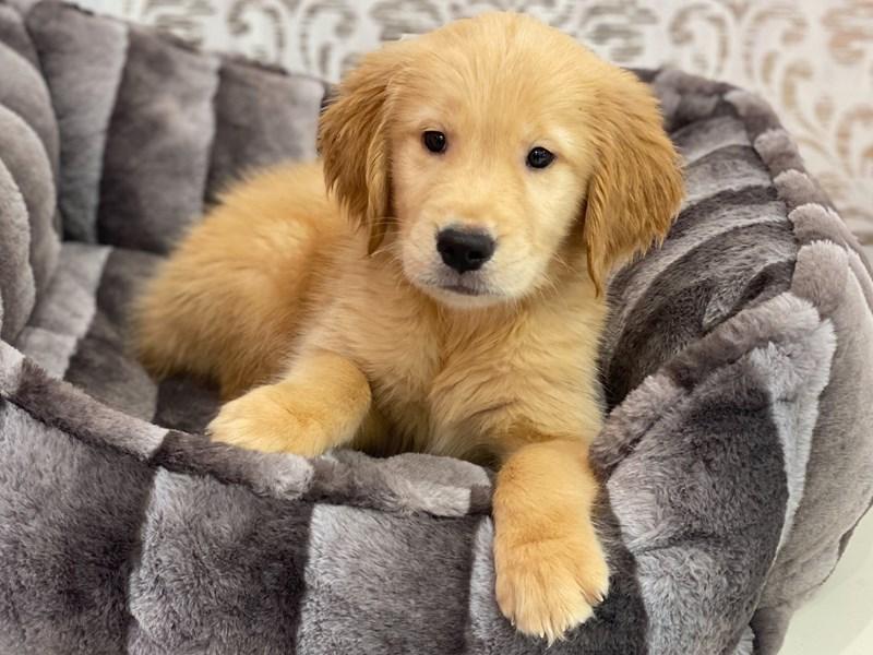 Golden Retriever-DOG-Male-Light Golden-3131957-Furrylicious