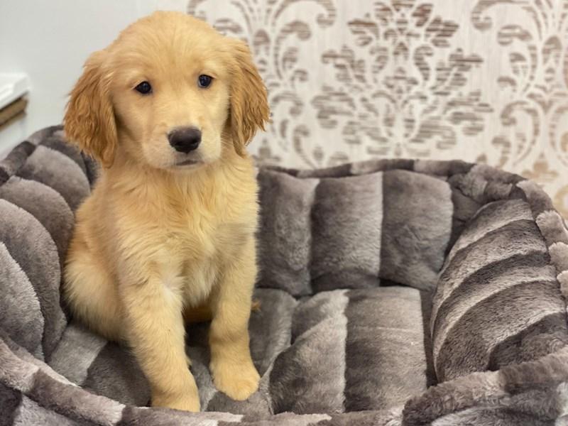 Golden Retriever-DOG-Female-Light Golden-3132004-Furrylicious