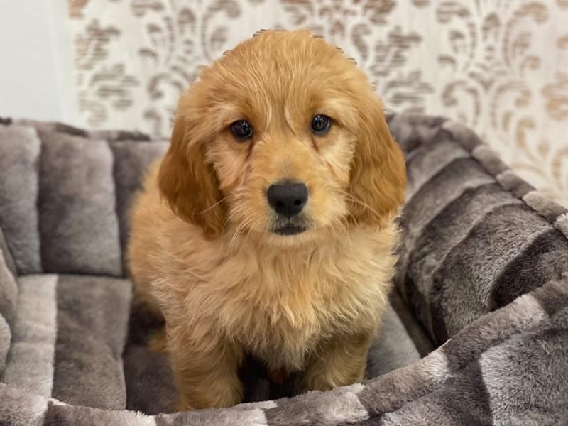 Mini Goldendoodle-DOG-Male-Golden-3132177-Furrylicious