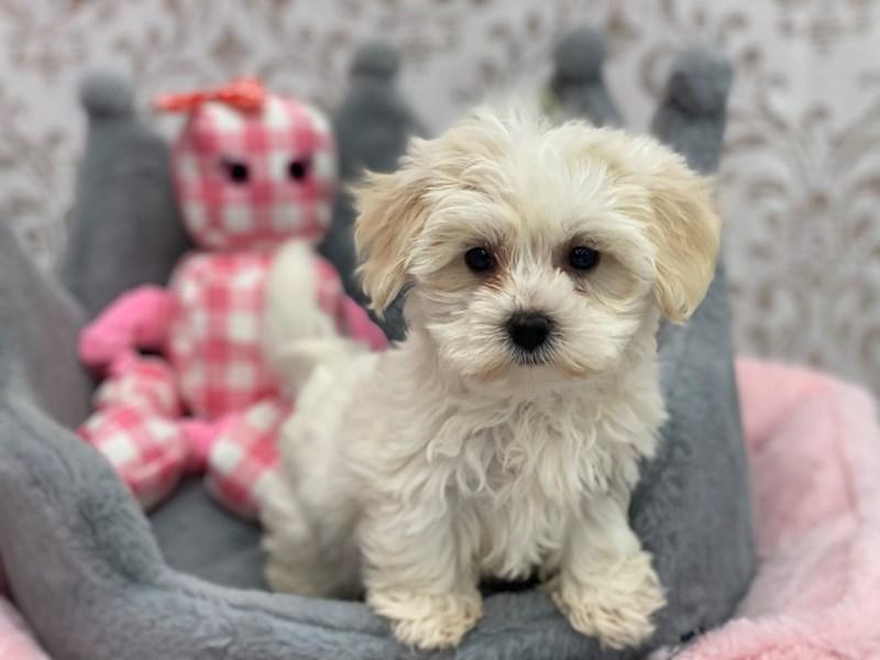 Malshi-DOG-Female-White and Tan-3132047-Furrylicious