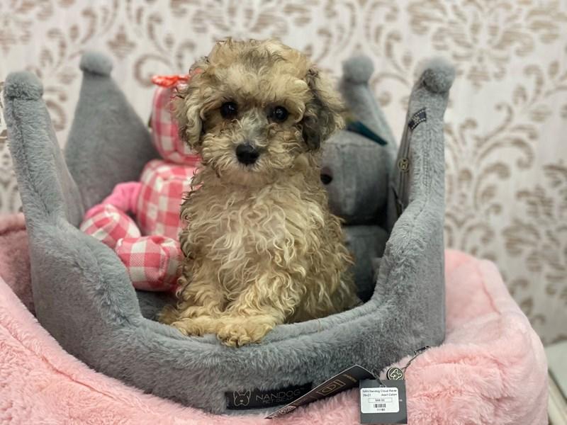 Poodle Mini-DOG-Male-Tan w/ Black Markings-3134408-Furrylicious