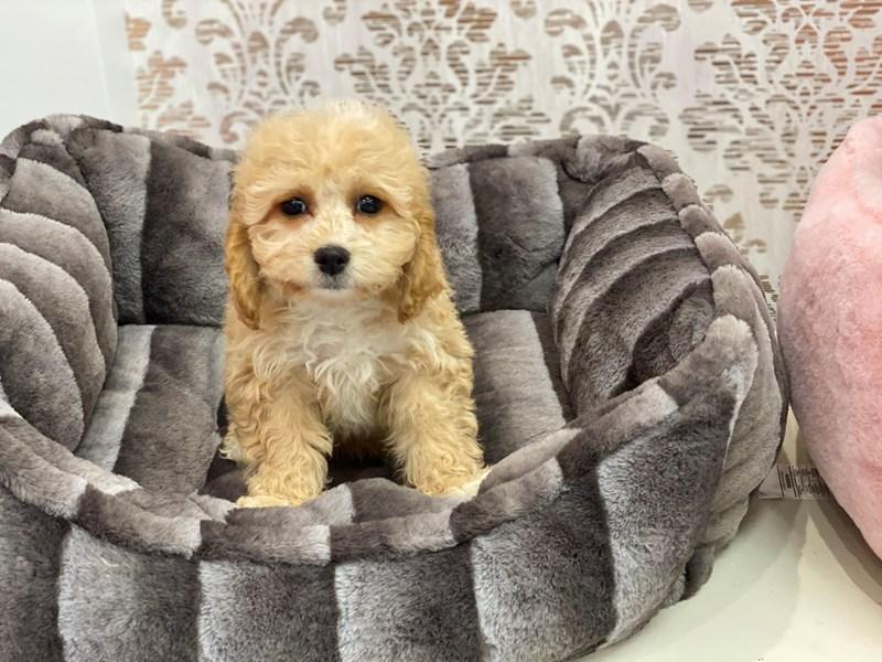 Cavapoo-DOG-Male-Buff-3132317-Furrylicious