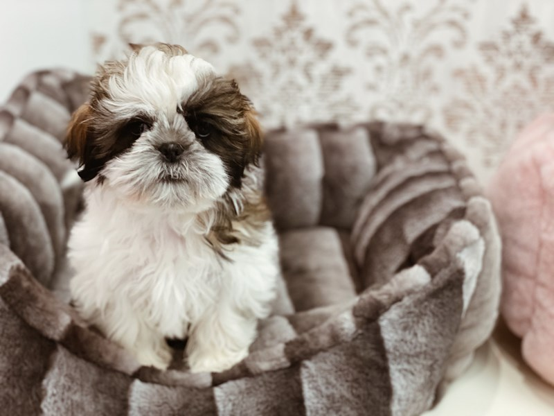 Shih Tzu-Female-Gold-3097981-Furrylicious