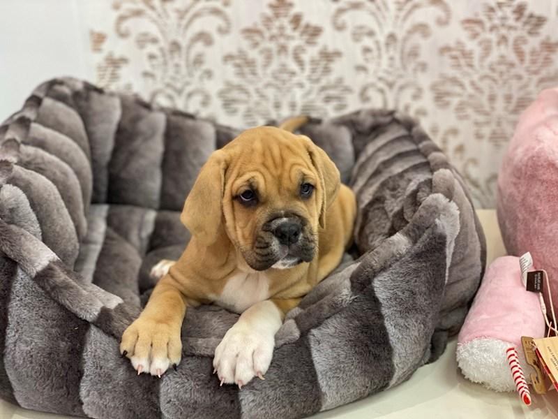 Bulldog/English Mastiff-DOG-Female-Fawn-3134460-Furrylicious