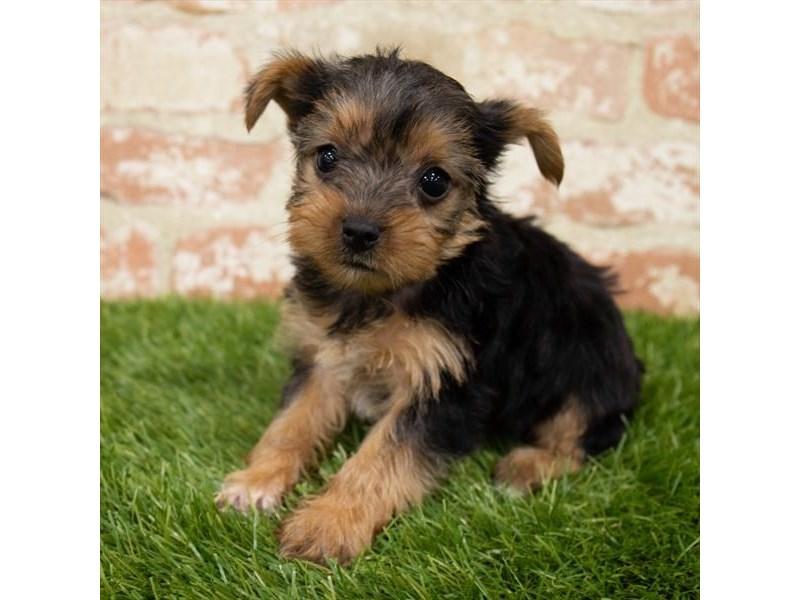 Yorkshire Terrier-DOG-Female-Black / Tan-3141988-Furrylicious