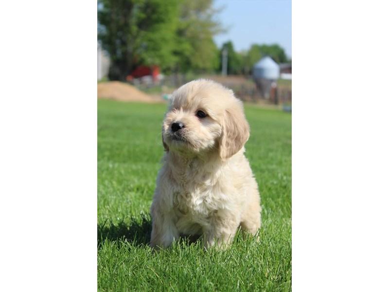 Goldendoodle Mini-DOG-Male-Golden-3142553-Furrylicious
