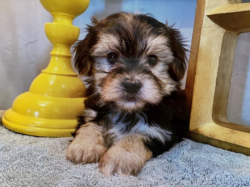 Morkie-Male-Black, White and Tan-3142815-Furrylicious
