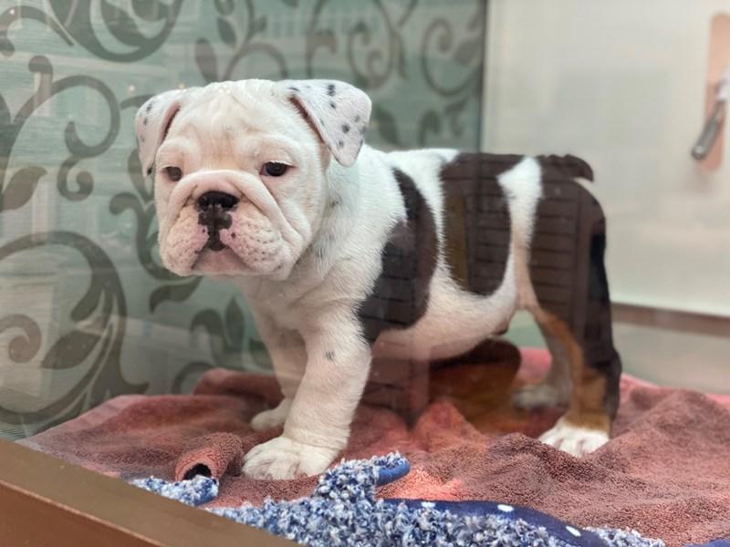 English Bulldog-Male-Black / White-3142304-Furrylicious