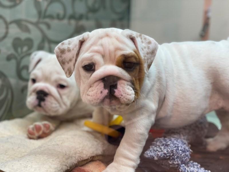 English Bulldog-Female-White / Red-3142302-Furrylicious