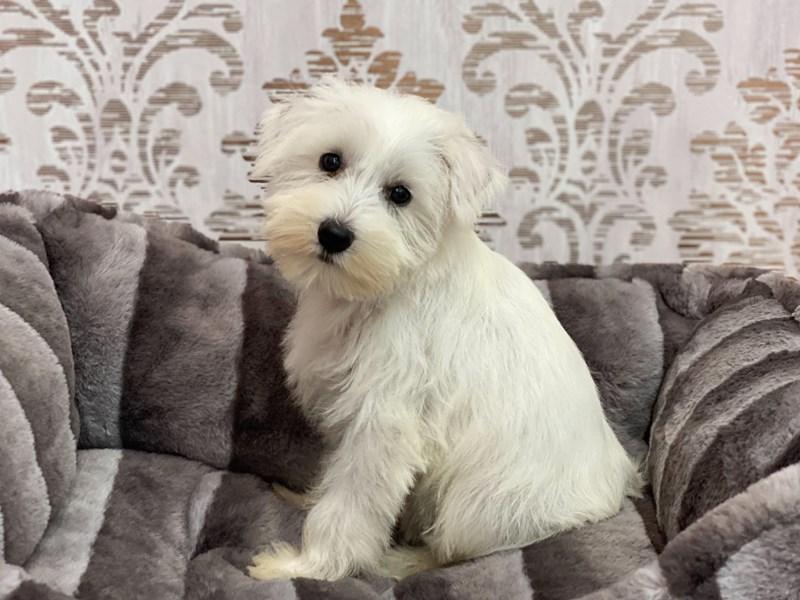 Miniature Schnauzer-Female-White-3142298-Furrylicious
