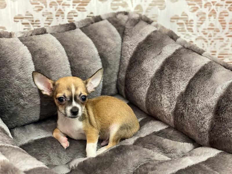 Chihuahua-DOG-Male-Fawn Sable-3145017-Furrylicious