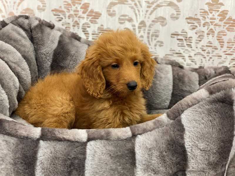 Goldendoodle Mini 2nd Gen-Male-Red-3145051-Furrylicious