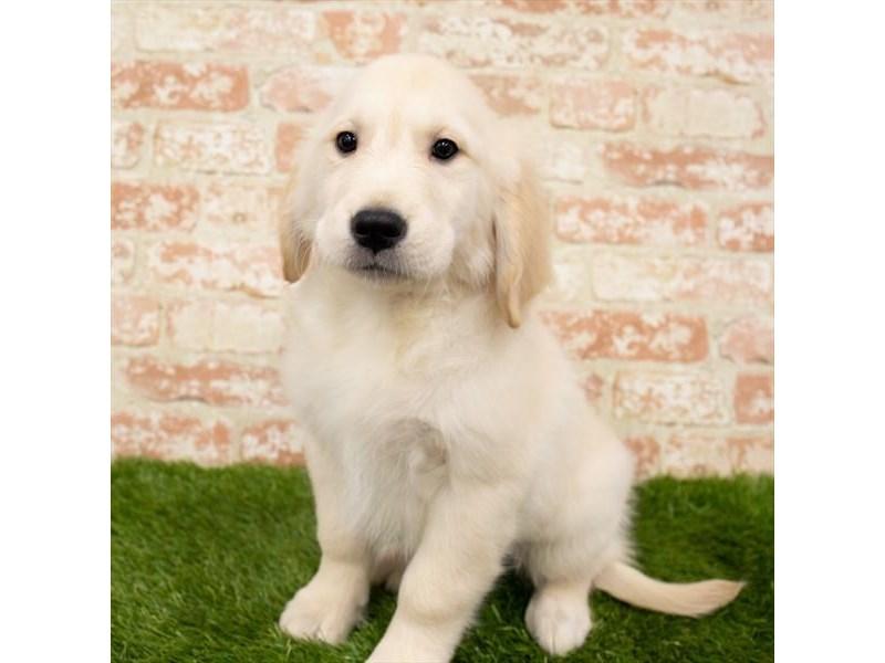 Golden Retriever-DOG-Male-Golden-3151695-Furrylicious