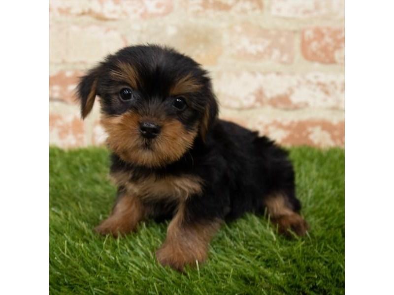 Yorkshire Terrier-DOG-Female-Black / Tan-3151701-Furrylicious