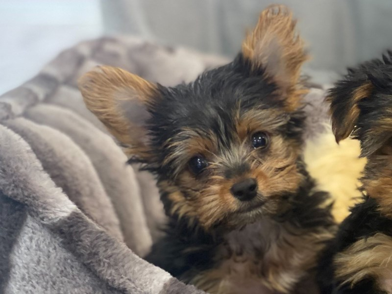 Yorkshire Terrier-Male-Black and Tan-3155326-Furrylicious