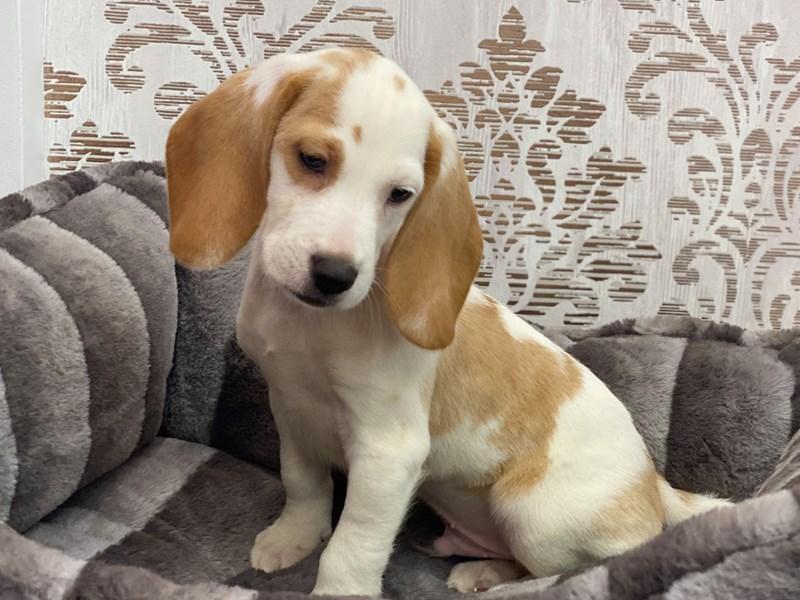 Beagle-DOG-Male-Lemon and White-3131930-Furrylicious