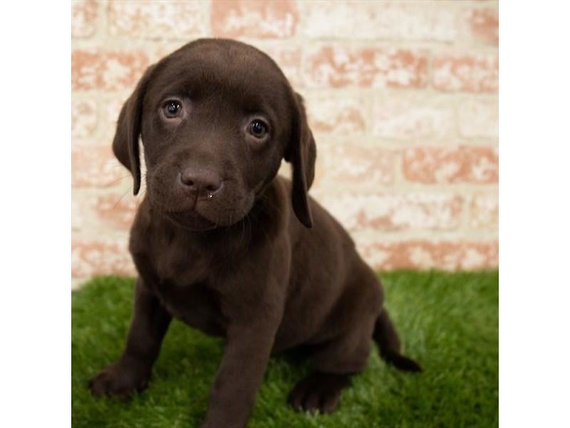 Labrador Retriever-Female-Chocolate-3140947-Furrylicious