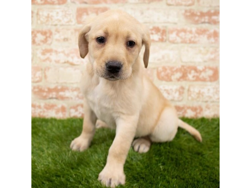 Labrador Retriever-Female-Yellow-3141948-Furrylicious