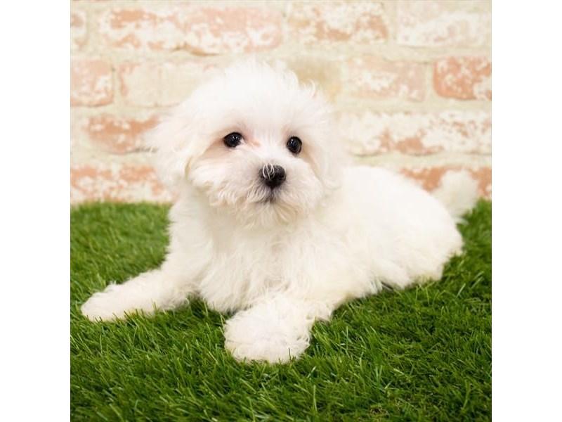 Maltese-DOG-Male-White-3142490-Furrylicious