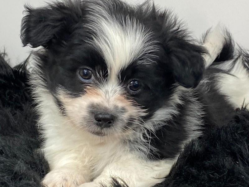 Shih Tzu/American Eskimo-DOG-Male-Black / White-3142409-Furrylicious