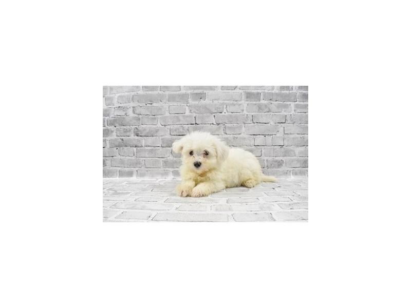 Havanese-Female-Cream-3143178-Furrylicious