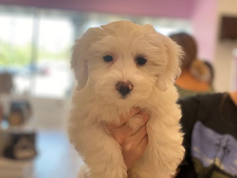 Coton De Tulear-DOG-Male-White-3145023-Furrylicious