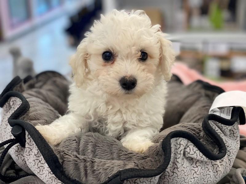 Bichapoo-DOG-Male-Cream / White-3154795-Furrylicious