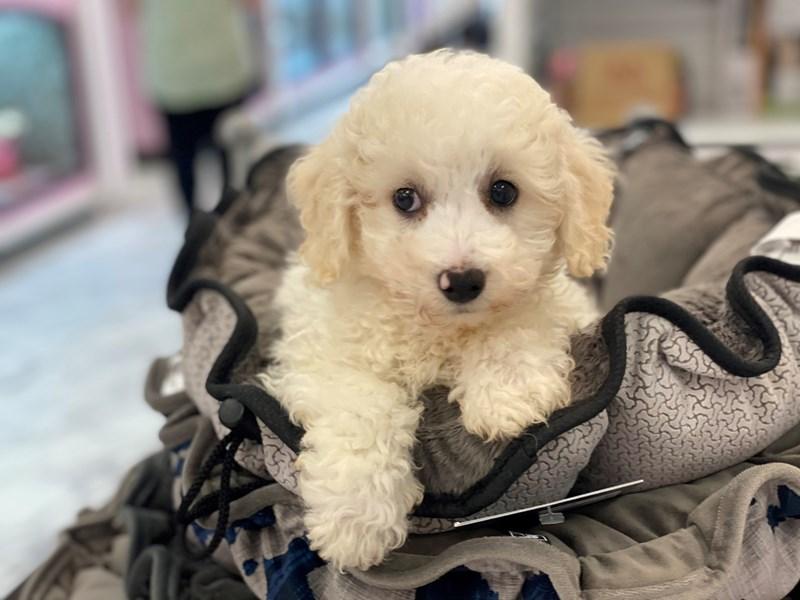 Bichapoo-DOG-Male-White-3154798-Furrylicious
