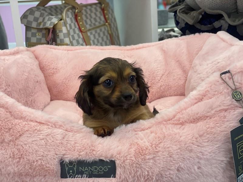 Chiweenie-DOG-Female-Wild Boar-3155306-Furrylicious