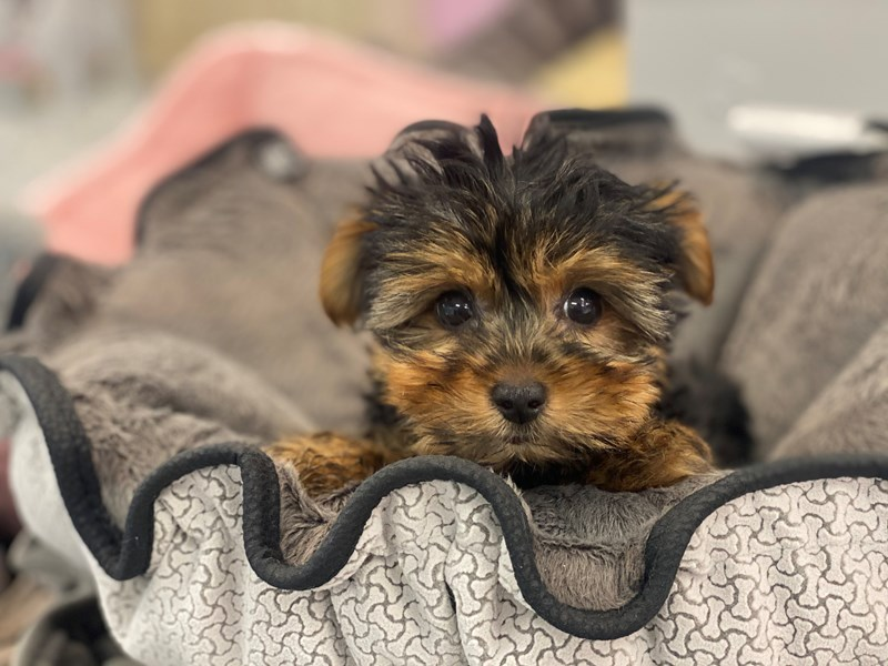 Yorkshire Terrier-Male-Black and Tan-3155330-Furrylicious