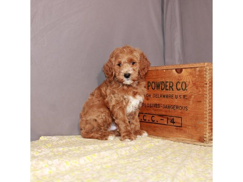 Goldendoodle Mini 2nd Gen-DOG-Male-Red-3161437-Furrylicious