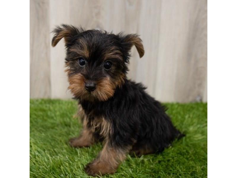 Yorkshire Terrier-Male-Black / Tan-3161737-Furrylicious